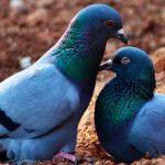 鳩の子育て期間はどれくらい?