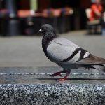 鳩が車に糞を落とす理由!糞の色とその成分
