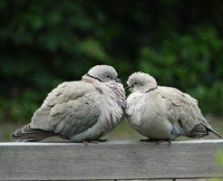 鳩 雛 巣立ち 期間