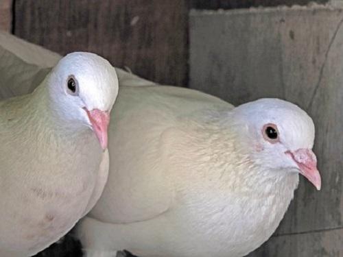 鳩 巣作り 縁起