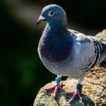 鳩に足輪がついているけど飼われているの? 番号の意味とは?