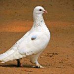 鳩の雛の餌の量は、どれくらい?