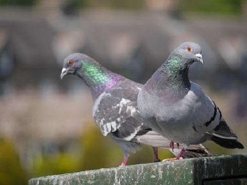 鳩 卵 大きさ 孵化