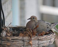 鳩 飼育 卵