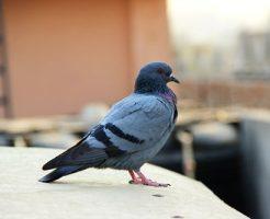 鳩 巣立ち 期間 日数