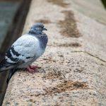鳩をエアガンで駆除することは違法なのか?