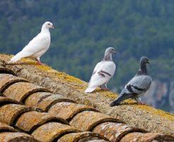 鳩 種類 白