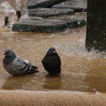 鳩はなぜ冬に水浴びするのか?