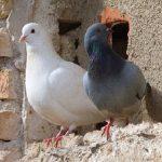 鳩のオスの求愛行動