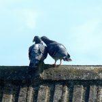 鳩の求愛の仕方、鳴き声は?