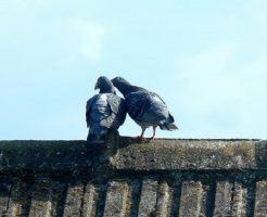 鳩 求愛 鳴き声