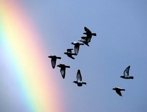 ハワイ 鳥 鳩