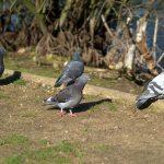 鳩の産卵の回数などについて