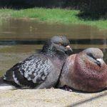 鳩が住みつき卵を産む前にする臭いなどの対策法