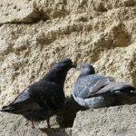 鳩が巣を作る時期は、いつ?
