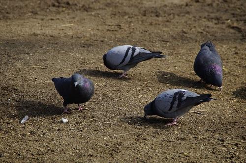 鳩の巣立ちの時期はいつ?どうやって子育てするの?