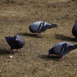 鳩はとうもろこしを食べない
