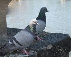 鳩 首 膨らむ