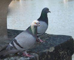 野生 鳩 寿命
