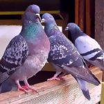 鳩に苦しむ人必見!鳩の嫌う物や音