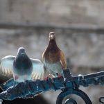 白い鳩のまだら模様の鳩とはどんな種類か?