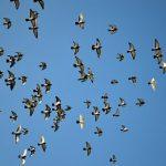 鳩は、夜に飛ぶことができるのか?