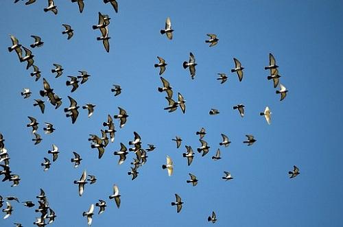 鳩 夜 飛ぶ 飛べない