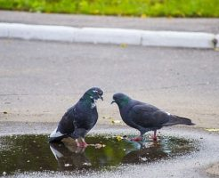 鳩 巣立ち 親