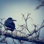 鳩とカラスの夢占い