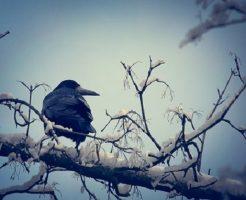 鳩 カラス 夢