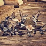 鳩の産卵と回数について
