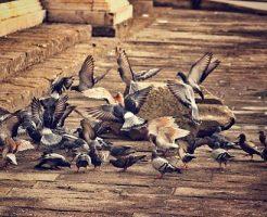 鳩 産卵 回数