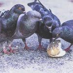 鳩の糞が毒になる!?気になる病気とその対策