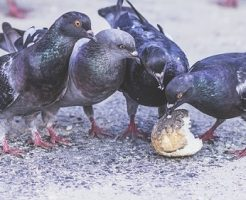鳩 糞 毒 病気