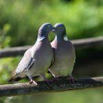鳩は一生同じつがいで行動する習性を持っているのか?