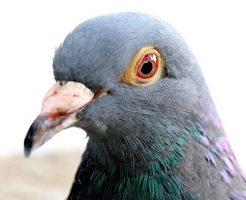 鳩 鼻 こぶ