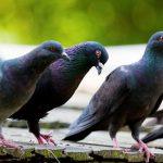 どうすれば良い?!朝・夜のうるさい鳩の鳴き声対策