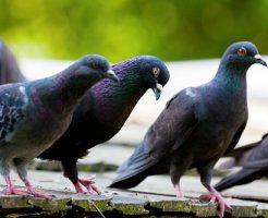 鳩 朝 夜 鳴き声 うるさい