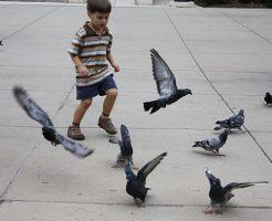 野生 鳩 飼う