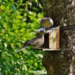 鳩のオスとメスについて!胸を膨らませてもう1羽の鳩を追いかける意味は?