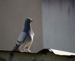 鳩 飼育 許可