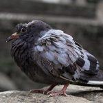 鳩の産卵から孵化するまでの過程とは?
