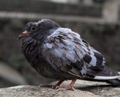 鳩 産卵 孵化