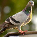 鳩の色とその理由