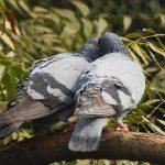 鳩の求愛行動の成功率はどのぐらいか?