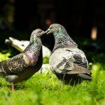 鳩の卵の温め方とその期間について