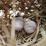 鳩の卵と孵化日数