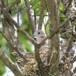 鳩の巣作りについて、オスも温めるの?