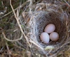 鳩 飼育 雛