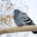 鳩の保護と病気